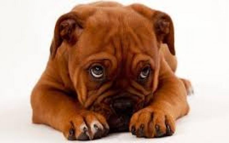 sorrybulldog
